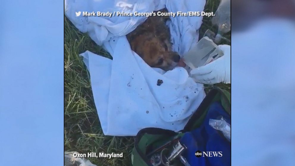 Maryland firefighters were able to revive a dog they rescued from a burning home on Monday, officials told ABC News.