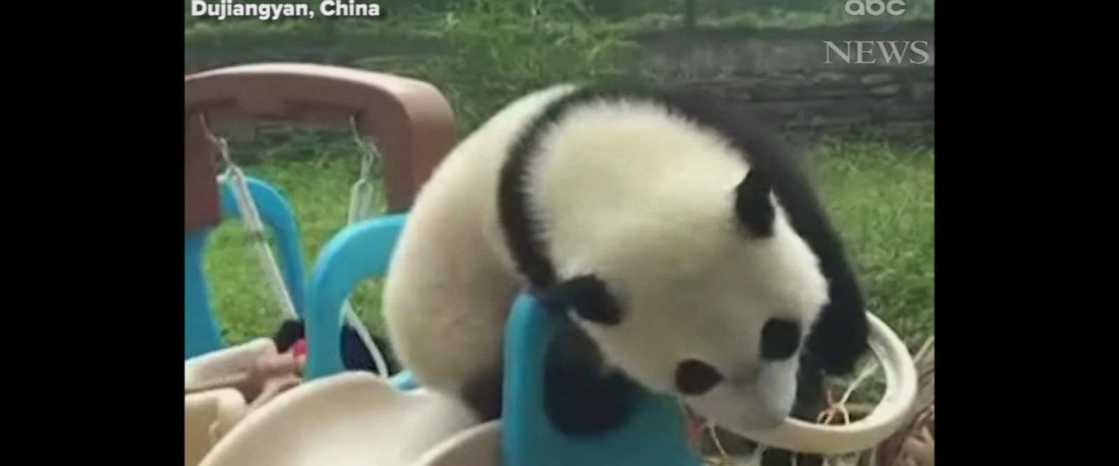 VIDEO: Playful pandas rewrite the rules of basketball