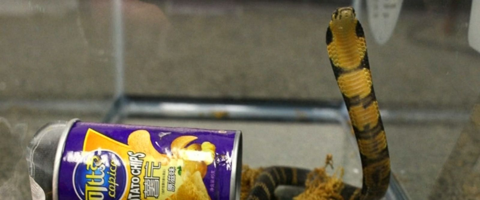 VIDEO: A California man has been arrested on a federal smuggling charge stemming from the seizure of a package that contained three live king cobras hidden inside potato chips canisters, according to the U.S. Department of Justice.