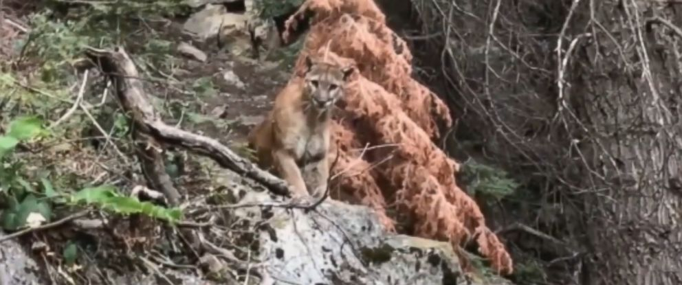VIDEO: A pair of hikers spotted a mountain lion on the High Sierra trail at Sequoia National Park and captured a video of the large wildcat.