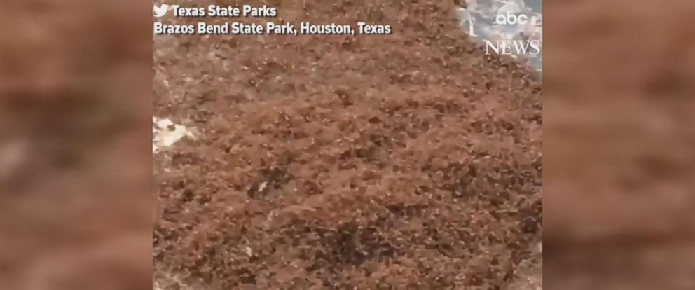 Texas State Parks tweeted a video of the ants at Brazos Bend State Park near Houston.