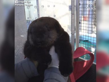 WATCH:  Rescued otter pup frolics at zoo