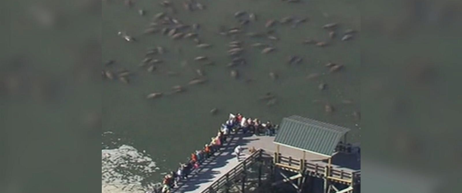 VIDEO: Manatees huddle for warmth in frigid Florida waters