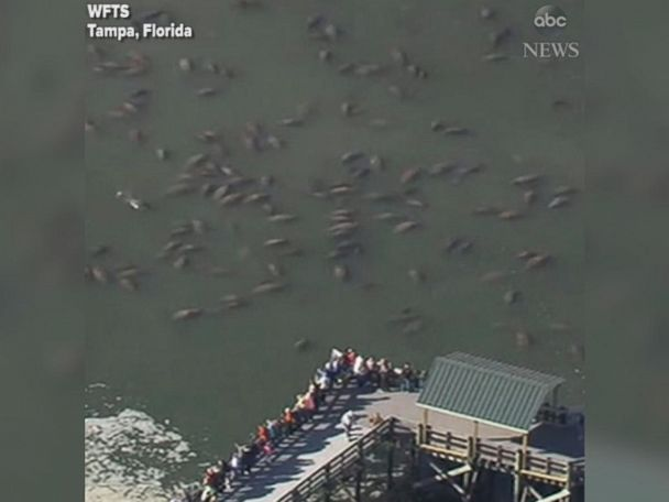 WATCH:  Manatees huddle for warmth in frigid Florida waters
