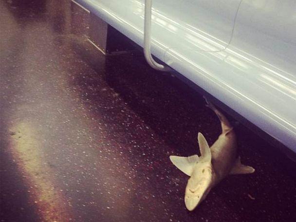 ABC Isvett Verde Subway Shark Dolak 130808 4x3 608 Subway Shark Found on New York Train
