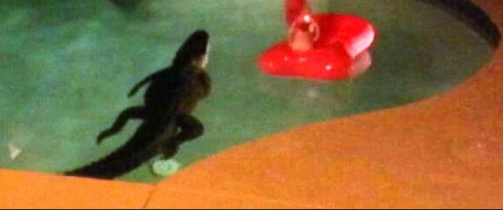 PHOTO: An alligator was found in a Florida pool, May 16, 2014.