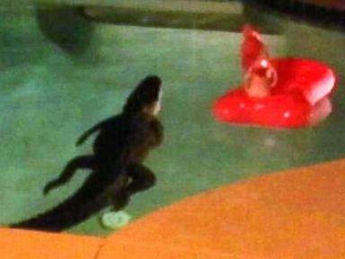 Couple Finds Alligator Taking a Dip in Backyard Pool