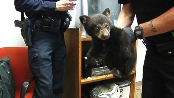 ABC bear police 3 mar 140522 16x9 608 Why Its a Good Idea to Leave Black Bear Cubs in the Woods