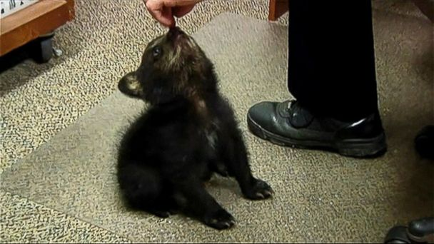 ABC bear police mar 140522 16x9 608 Why Its a Good Idea to Leave Black Bear Cubs in the Woods