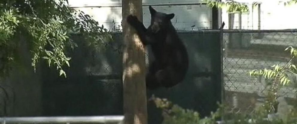 PHOTO: A black bear wandered into a Florida neighborhood.