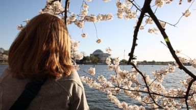 PHOTO: The National Cherry Blossom Festival in Washington, April 11, 2015.