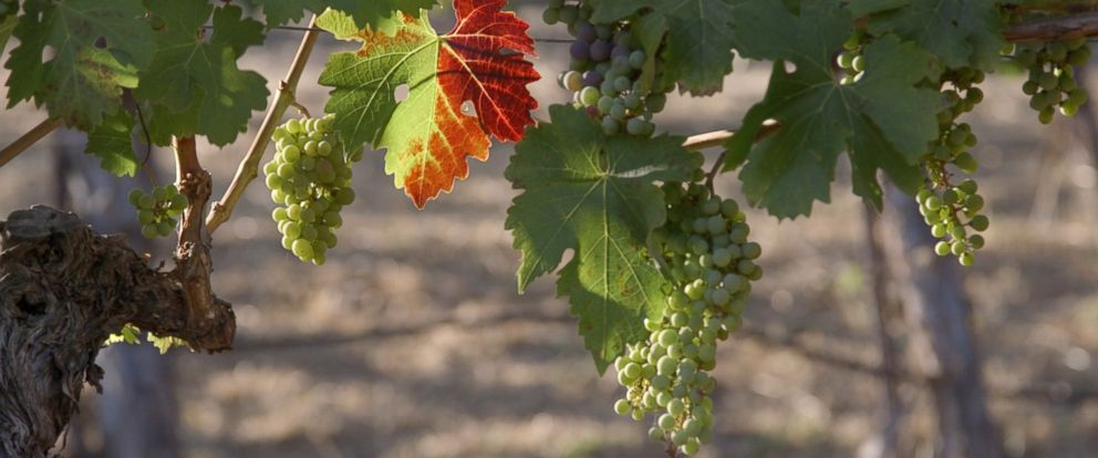 PHOTO: Wine grapes ripen in Napa Valley, California.