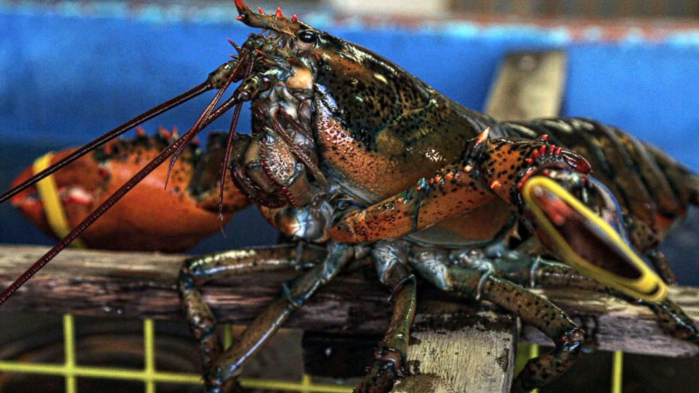 PHOTO: Ginger Zee takes you to Maine to find out why lobsters are thriving.