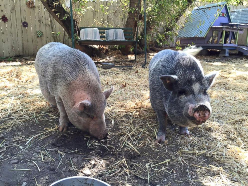 PHOTO: Two pigs that were adopted from the sanctuary are seen here in their new home in Santa Ynez, California.