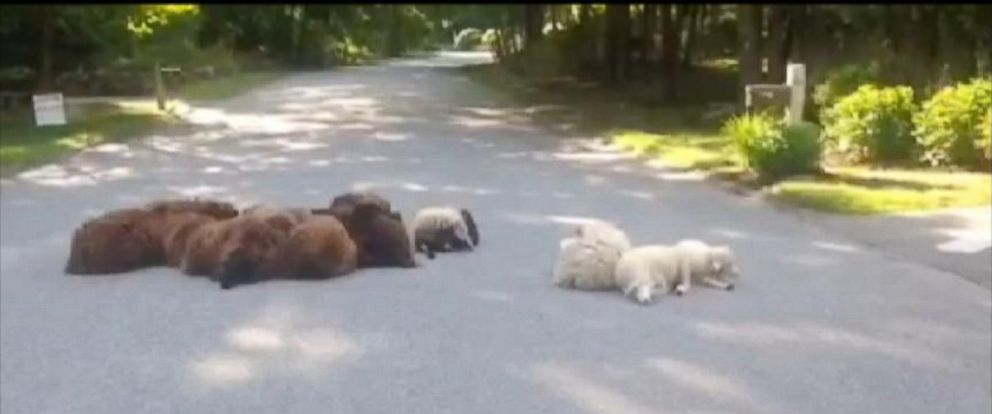 PHOTO: A herd of sheep escaped a coyote and settled into the middle of the street.