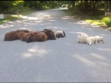 Sheep Take Over Road to Escape from Coyote
