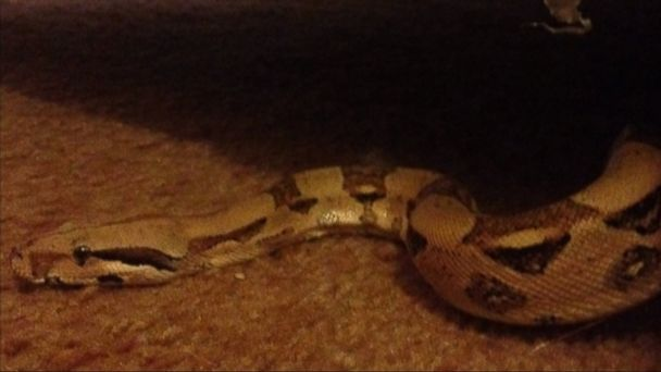 ABC snake couch nt 131231 16x9 608 Michigan Woman Finds Python in Secondhand Couch