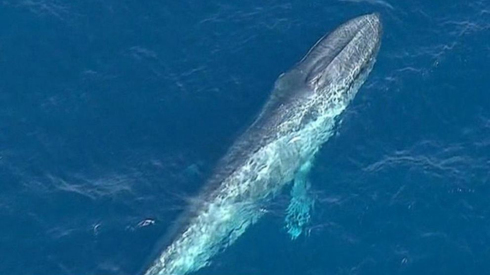 Giant Blue Whale Trapped In Fishing Line Off California