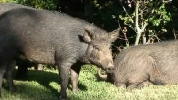 ABC wild pigs kab 140314 16x9 608 Wild Pigs Overrun Homeowners in Central California