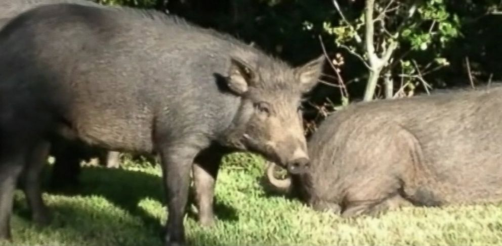 PHOTO: Wild pigs are pictured in San Jose, Calif.
