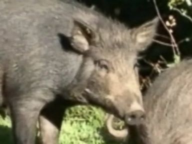 Wild Pigs Overrun Homeowners in Central California