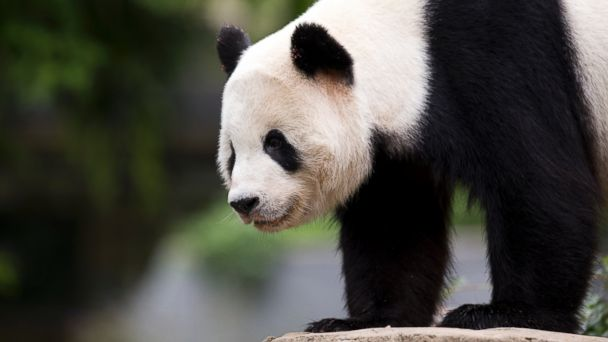 PHOTO: Panda cub Bao Bao, roams in an enclosure at the Smithsonian's National Zoo in Washington, Sept 25, 2015.