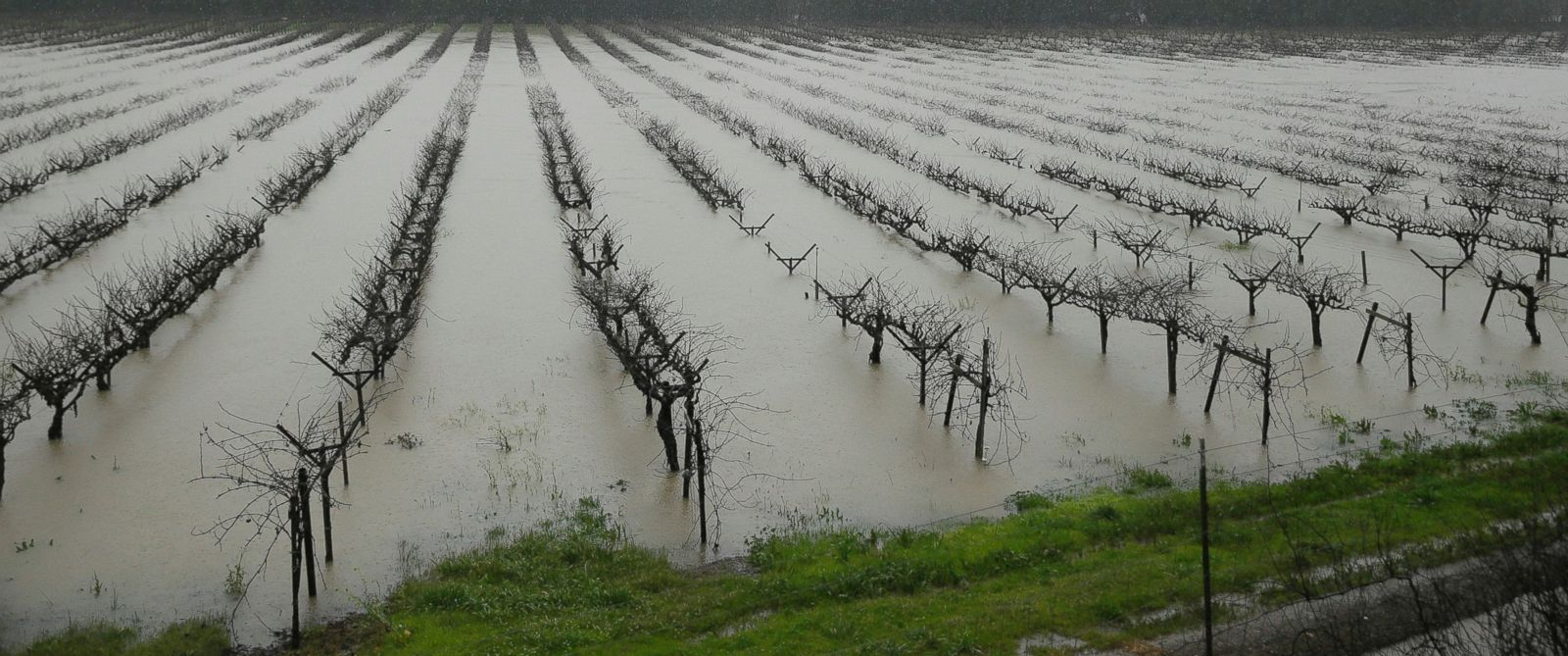 PHOTO: A vineyard at Korbel Champagne Cellars is flooded, Jan. 10, 2017, in Guerneville, California.