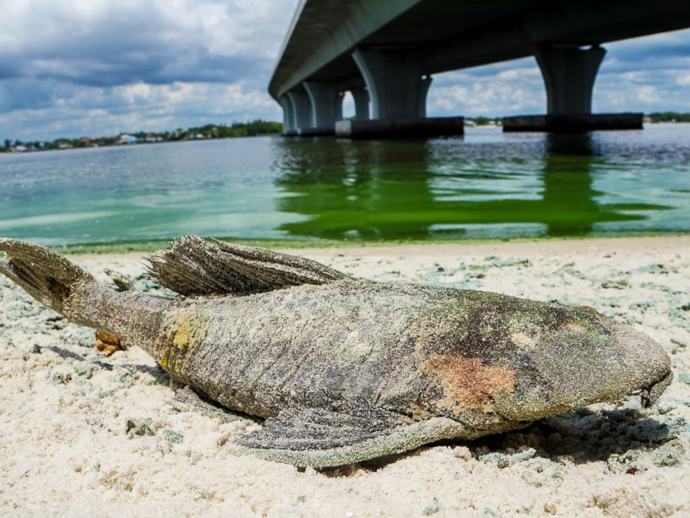 PHOTO: A dead walking catfish lays on the shore with algae along Sewells Point, Fla. on the St. Lucie River under an Ocean Boulevard bridge on June 27, 2016.