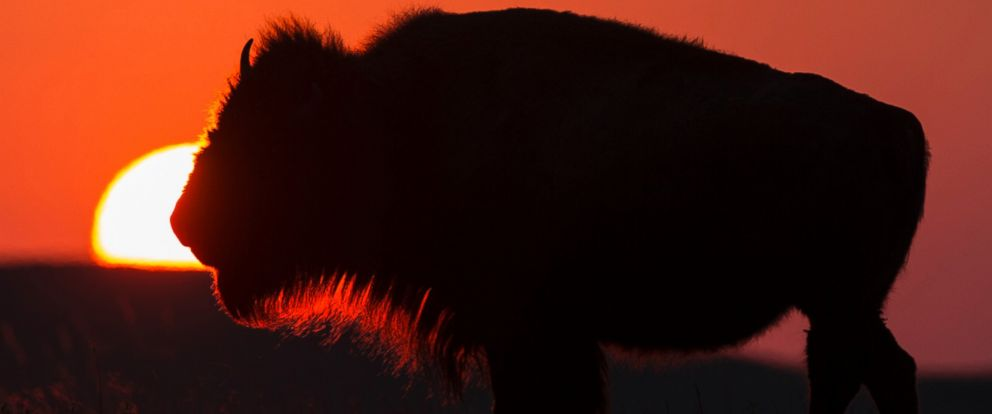 PHOTO: Framed by the setting sun, an American Bison grazes at the Tallgrass Prairie National Preserve, April 28, 2015, near Strong City, Kan.