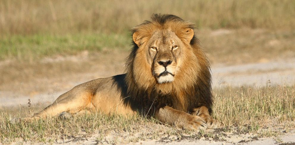 PHOTO: In this undated photo provided by the Wildlife Conservation Research Unit, Cecil the lion rests in Hwange National Park, in Hwange, Zimbabwe.