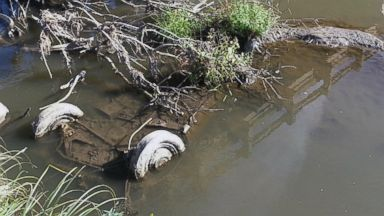 PHOTO: The tires of a Studebaker, missing since 1971, are visible in Brule Creek near Elk Point, S.D. in this undated file photo.