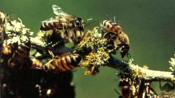 PHOTO: Africanized honey bees on a tree limb near the Texas A&M Research and Extension Center near Weslaco, Texas are seen in this undated photo released by the Texas Cooperative Extension.