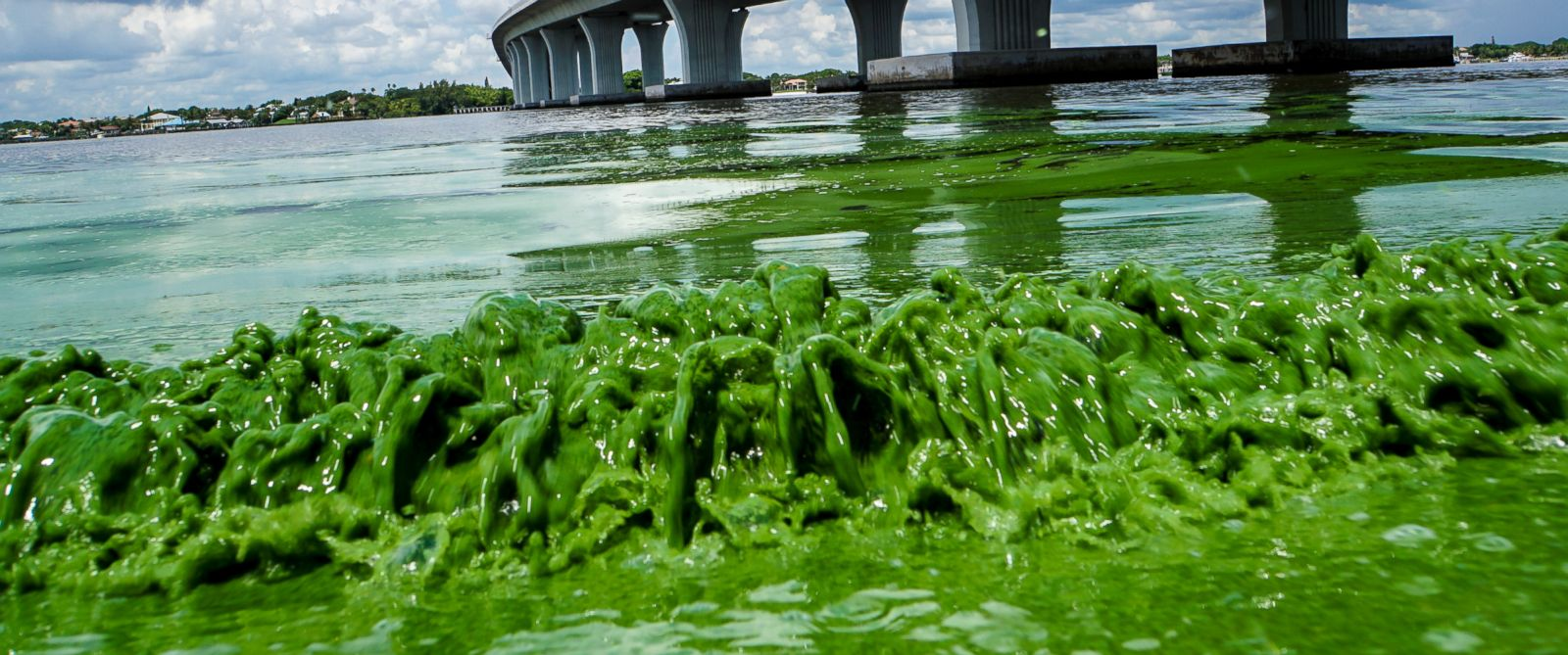 PHOTO: Water full of algae laps along the Sewells Point shore on the St. Lucie River under an Ocean Boulevard bridge, June 27, 2016.