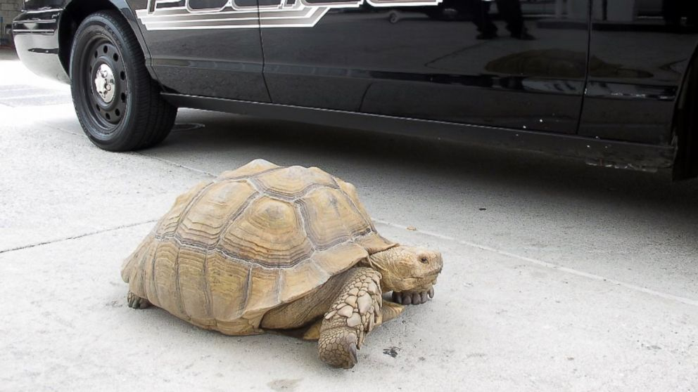 PHOTO: This Aug. 2, 2014 photo provided by the Alhambra Police Department shows a giant 150-pound tortoise who was found wandering the streets of Alhambra, Calif.