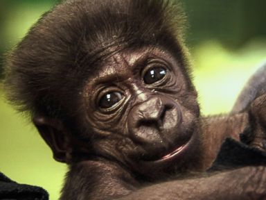 PHOTO: This Sept. 21, 2014 photo shows Kamina, a Western Lowland gorilla, at the Oklamhoma Zoo where she was born Aug. 16, 2014. Kamina was rejected by her mother and has been moved to the Cincinnati Zoo.