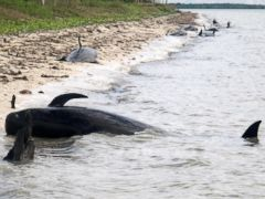 PHOTO: In this Dec. 3, 2013 photo provided by the National Park Service, pilot whales are stranded on a beach in a remote area of the western portion of Everglades National Park, Fla.