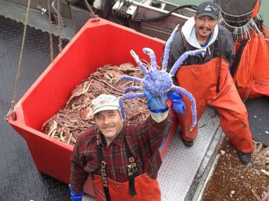 PHOTO: Crab fisherman Frank McFarland, left, holds up a rare blue-colored red king crab he caught in his commercial crabbing pots as Frank Kavairlook Jr., right, looks on in Nome, Alaska, July 4, 2014.
