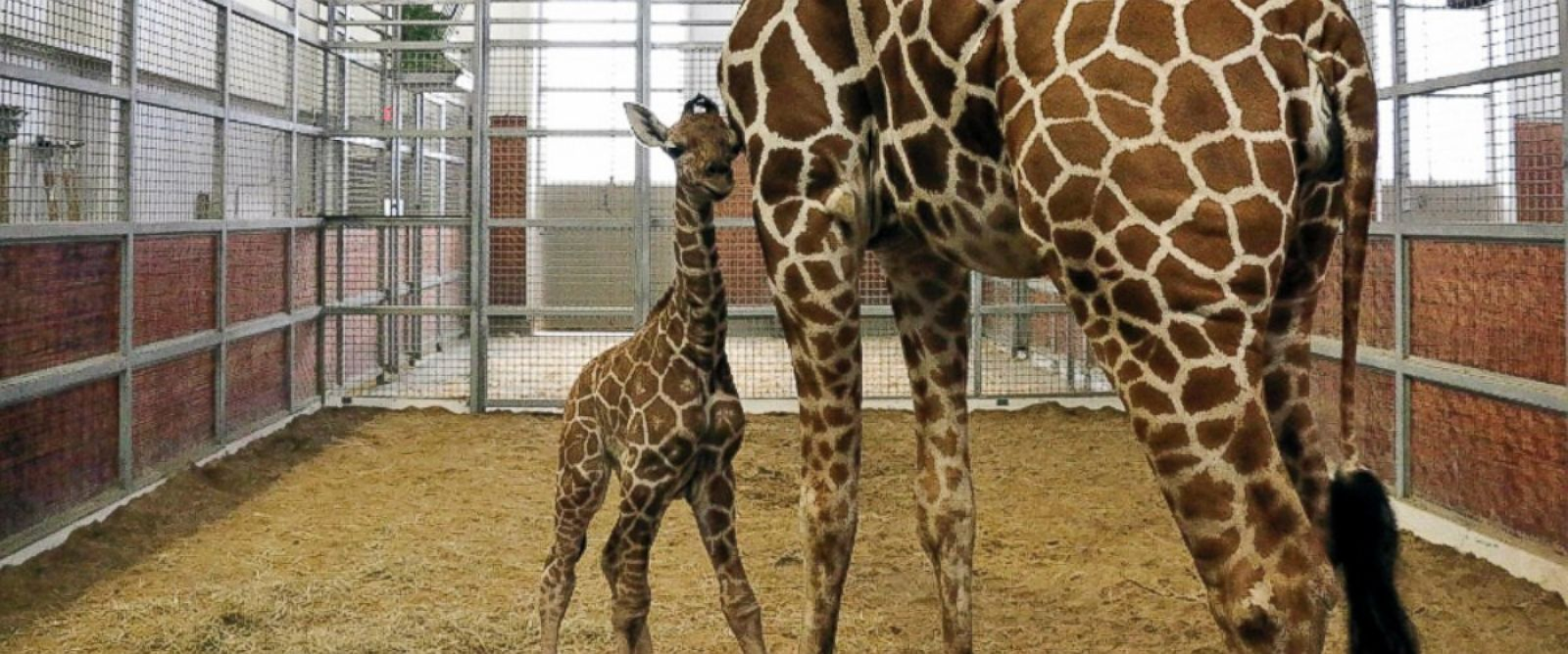 PHOTO: This photo provided by the Dallas Zoo shows a newborn reticulated calf with his mom Chrystal, on Tuesday, Oct. 28, 2014 in Dallas.