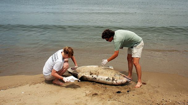 AP dead dolphins jef 130806 16x9 608 Dead Dolphins Wash Up in Disturbingly High Numbers at Risk to Humans