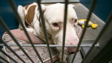 This March 11, 2014 photo shows Mickey, a pit bull, at West Valley Animal Care Center in Phoenix, Ariz. Mickey attacked four-year-old Kevin Vicente on Feb. 20, 2014.