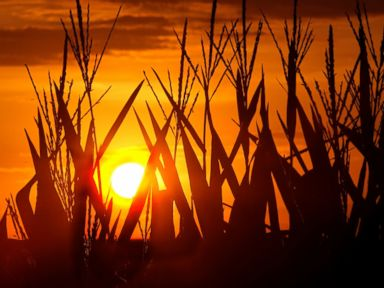 PHOTO: Corn stalks are silhouetted by a setting sun, July 22, 2016, in Pleasant Plains, Illinois, as the temperature hovers around 100 degrees.