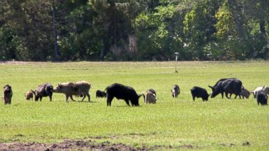 PHOTO: In this 2009 photo provided by USDA-APHIS Wildlife Services, a group of feral hogs mill about a field.