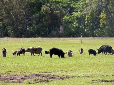 Texas County to Feed Wild Hogs to the Homeless