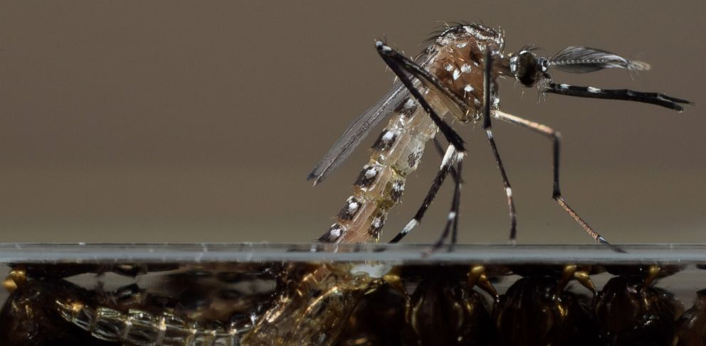 PHOTO: This undated photo made available by Oxitec shows a genetically modified Aedes aegypti mosquito in their U.K. lab.