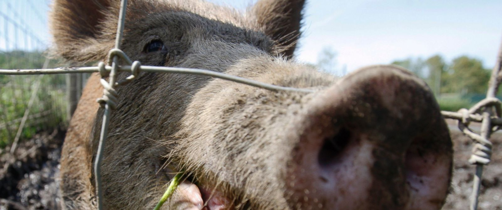 PHOTO: A feral hog stands in a holding pen at Easton View Outfitters in Valley Falls, N.Y in this Aug. 24, 2011 file photo.
