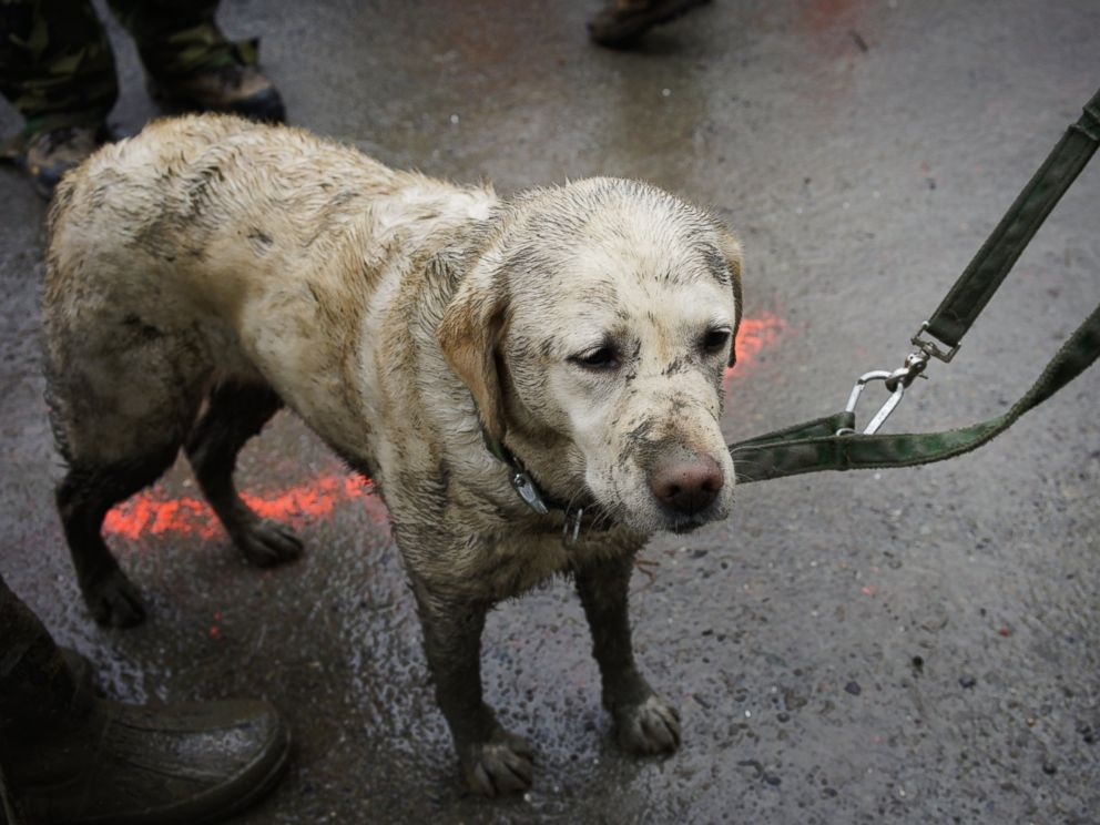 PHOTO: Rescue dog Tryon, muddied from the days work, stands with his handler near the west side of the mudslide on Highway 530 near mile marker 37 in Arlington, Wash., March 30, 2014.