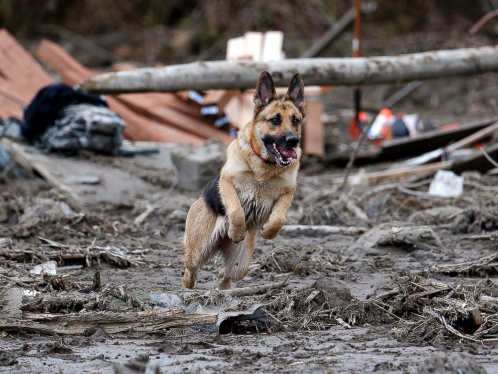 PHOTO: Search dog Stratus leaps through a debris field while working with a handler following a deadly mudslide, March 25, 2014, in Oso, Wash.
