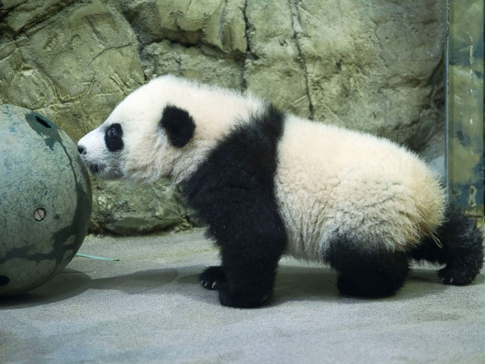 PHOTO: Giant panda cub Bei Bei, seen through glass, roams in his pen at the National Zoo in Washington, Jan. 16, 2016.