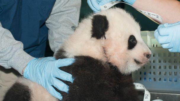 AP panda cub jt 131201 16x9 608 National Zoo Names Panda Cub Bao Bao