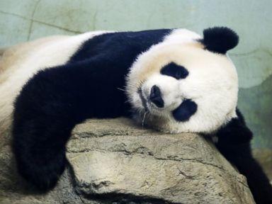 PHOTO: The Smithsonian National Zoos Giant Panda Mei Xiang, mother of panda youngster Bao Bao who was born Aug. 23, 2013, sleeps in the indoor habitat at the zoo in Washington, Aug. 12, 2015.